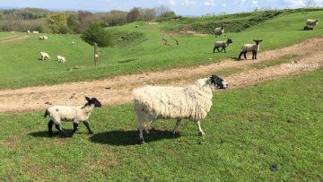 コッツウォルズ(ブロードウェイ)では、羊がこんなに間近に見られます。